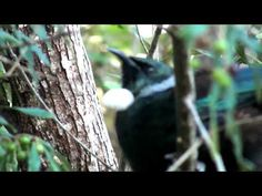 a video of the Tui.  The sounds you can hear for the first half are not the Tui, but they are other native birds including the Bellbird, and also the Magpie (not native)...the last half is the Tui.  It has a wide vocabulary of sounds, warbling, chuckling, snapping... Tui Bird, Tropical Heat, Magpie, Kiwi, Pet Birds, New Zealand, Vocabulary, Cloud, Animals