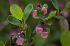 Bog Blueberry by DenaliNPS