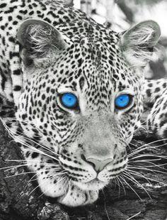 Leopard with blue eyes by MK2EA.deviantart.com on @DeviantArt