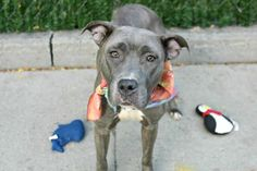 "FLASH - A1092975 - - Manhattan  Please Share:TO BE DESTROYED 10/20/16**BEAUTY AT RISK!**A volunteer writes: The moment I saw 2 year-old Flash–slight and still, hugging her kennel wall–I loved her. As I jiggle my leash in front of her door, I watch her eyes go bright. ""Yes, a walk sounds nice. But is it OK? What's beyond those doors?"" After some time and some treats, she decided at least I was alright, and our time together began. As it happens,"