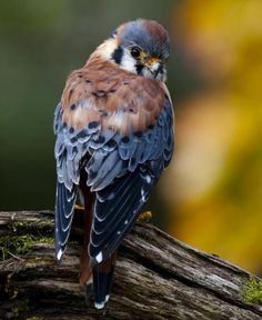 American kestrel  - Awesome Birds Photography by Jen St. Louis  <3 <3   ..rh