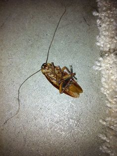 Roach found on 05/19/2014. Dead, but I admire the size of those antennas.