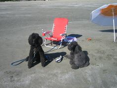 Shelby and Jessie do Tofino. Standard Poodles, Jessie