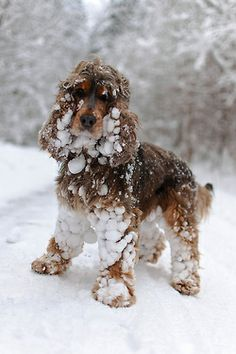 ihavelotsofdogs:    Fun in the snow by Mark_Tapley on Flickr.  Cocker Spaniel