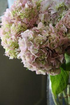 Rare Pastel Pink &  Green Petaled Hydrangeas