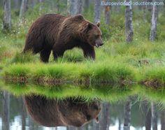 Fotografiado un oso pardo en Kuhmo en el este de Finlandia