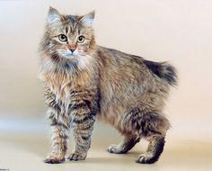 ♥CG♥ 96 Kurilian Bobtail Cat Origin: Russia-Japan