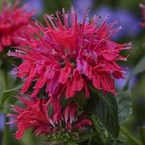 Cherry Pops Bee Balm ~ Monarda 'Cherry Pops' ~ 50cm tall ~ Spacing 60cm ~ Dark green foliage forms an upright clump. Cherry red flowers on strong well branched stems. Plant in full sun to partial shade in moist, well drained soil.