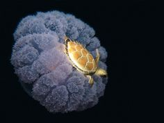 Picture of the Day: Turtle Riding A Jellyfish in this remarkable shot we see a toy turtle catching a ride on a jellyfish. Initially some thought it was a real turtle, but turtles are actually known to prey on jellyfish. Medusa, Turtle Love, Tiny Turtle, Ocean Turtle, Baby Turtles, Sea Turtles, Turtle Baby, Ocean Creatures, Curious Creatures