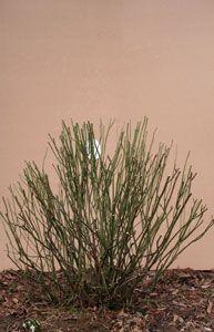 Rosen_schneiden_im_Fruehjahr - Rosen_schneiden - Rosen-Ratgeber - Informatives – Rosen online kaufen im Rosenhof Schultheis Herbs, Rose Varieties, Herb, Medicinal Plants