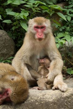 Nursing mother and baby Japanese macaques (snow monkeys). (copyright Nicole Condit Duncan)
