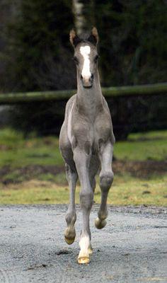 "equine-world: ""「Brettons Woods x Laconia」 German Warmblood Colt """