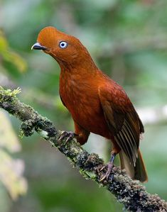 Andean Cock-of-the-Rock (Female) by Max Waugh Photography, via Flickr..what a beauty!!!