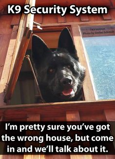 Wicked Training Your German Shepherd Dog Ideas. Mind Blowing Training Your German Shepherd Dog Ideas. German Shepherd Training, German Shepherd Puppies, Funny German Shepherds, Blue German Shepherd, I Love Dogs, Cute Dogs, Big Dogs, Schaefer, Police Dogs
