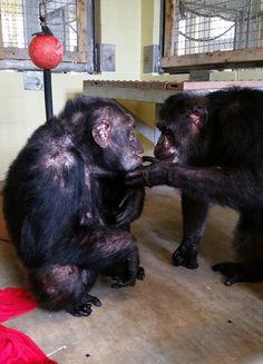 Iris chimpanzee rescue abdul