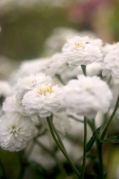 Perennials sun my 15 favorites # easy-care plants Perennials sun my 15 Water Temple, Easy Care Plants, Achillea, Herbaceous Perennials, Flowers, Outdoor, Things To Sell, Pearl, Gardening