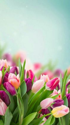 tulips garden care 9 Top Spring Flowers Wallpaper For Your Android or Iphone Wallpapers Pictures Of Spring Flowers, Spring Flowers Wallpaper, Flower Pictures, Flower Wallpaper, Spring Images, Winter Flowers, Frühling Wallpaper, Garden Wallpaper, Nature Wallpaper