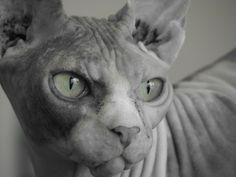 Sphynx, hairless cat, cat photography