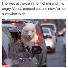 I would be quite shocked to see an Alpaca's head sticking out of the window of a car!