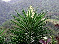 Yucca elephantipes Regel 1859 (ASPARAGACEAE)   Flickr - Photo Sharing!