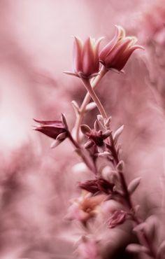 light drifts of marsala Antique Roses, Vintage Roses, Marsala, Roses Tumblr, Rosa Pink, Scenery Photography, Illustrations, Color Rosa, Pics Art