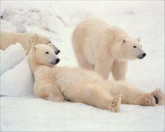 番外編:北極熊も結構カワイイ!
