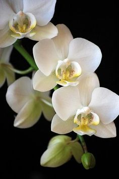 Beautiful Flower Pictures of White Orchids Beautiful Flowers Pictures, Flower Pictures, Amazing Flowers, Pretty Flowers, Beautiful Things, Phalaenopsis Orchid, Orchid Plants, Flowers Nature, Exotic Flowers