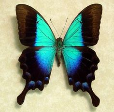 Rare Blue Glosswing Butterfly Framed Papilio by REALBUTTERFLYGIFTS, $49.99
