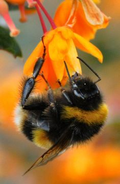 orange flower and bumble bee Buzz Bee, I Love Bees, Bees And Wasps, Beautiful Bugs, Bee Art, Bugs And Insects, Tier Fotos, Funny Tattoos, Annual Plants