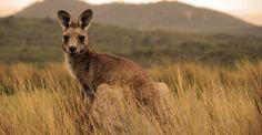 Wallaby, Outback, Australia | Australian Outback Adventure | Natural Habitat Adventures