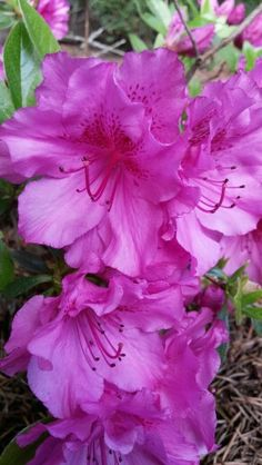 AZALEAS, cousin of the Rhodie.... our area is FULL of them