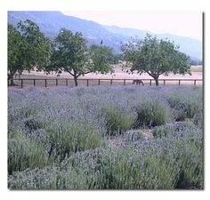 New Oak Ranch, Ojai, CA .... pick your won lavender.  Plus Ojai oranges, olives, lots to do and see.  A great family stop!
