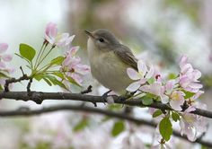 "Carol Freeman shared/ warblers she spotted at the ""Chicago Botanic Garden "" Spring Is Here, Hello Spring, Spring Blossom, Cherry Blossom, Apple Blossoms, Love Birds, Beautiful Birds, Chicago Botanic Garden, Spring Sign"