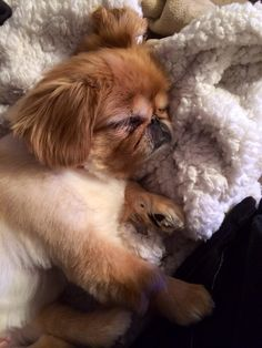 Sleeping Pekingese