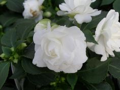 white double impatiens - Google Search