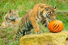 Friday, 31 October 2014. A Sumatran tiger cub searches for Halloween treats hidden inside a pumpkin at ZSL London Zoo.