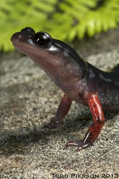 Plethodon shermani: Red-legged Salamander