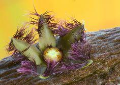 Rhytidocaulon ciliatum