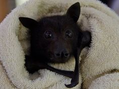 "This baby bat is chowing down on a banana while all bundled up in a blanket and it's so cute you have to watch. Since his wings are wrapped up and his ears are covered a little it's hard to tell that this is a bat but that is kind of Batzilla the Bat's mission. The page is all about making people ""appreciate the beauty, necessity, and fragility of all bat species"" and videos like this do just that. It's hard to imagine this adorable creature is the symbol for creepy nights and vampires. This…"