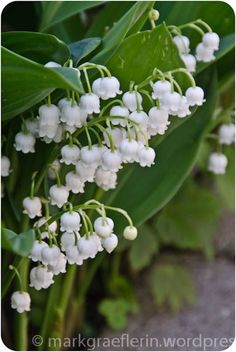 Lily of the valley.  Reminds me of my childhood.  It's an ok'd fashioned flower with a glorious scent!