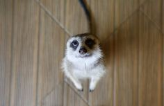 A meerkat in the petting room at the Little Zoo Cafe, Bangkok