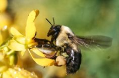 Support your local pollinators- garden for bees!