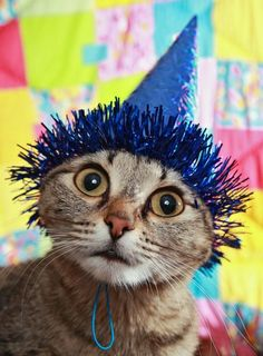 We have you covered for your next kitty bash, whether its celebrating a birthday, an adoption date, or that dead mouse they brought in last week. No occasion is too small to celebrate with a cat party! Here are a few tips. Cat Birthday, Animal Birthday, Happy Birthday, Funny Birthday, Kitty Party, Funny Cats, Funny Animals, Cute Animals, Crazy Cat Lady