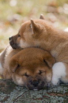 Shiba inu cuddling