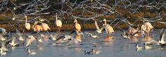 Die Flamingos am Zwillbrocker Venn teilen sich ihren Lebensraum mit Kolonien von Lachmöwen, © Biologische Station Zwillbrock e. V.