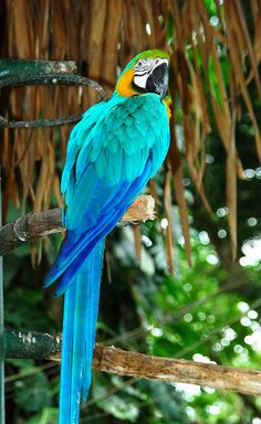 Fantastic Photos macaw parrot Ideas Retaining ones feathered pal healthy indicates frequently managing their health. Although dog small rodent owners may p Rare Birds, Exotic Birds, Exotic Pets, Exotic Fish, Pretty Birds, Beautiful Birds, Animals Beautiful, Tropical Birds, Colorful Birds