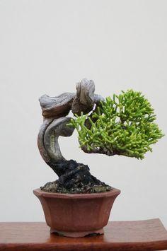 御礼☆ 皆さんご来場有難うございました☆ 第64回清香会小品盆栽展   ほのぼのと盆栽しましョ
