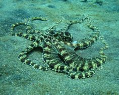 two recently discovered species of rare but stunning octopus that are found only in the waters around Bali and Sulawesi (Indo-Malay peninsula) They are the Mimic Octopus or Thaumoctopus mimicus and the Wonderpus, or Wunderpus photogenicus. Underwater Creatures, Ocean Creatures, Underwater World, Mimic Octopus, Octopus Video, Reptiles, Brittle Star, The Mimic, Biomes