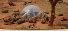 Prairie Dog Town at Reptile Gardens, in Rapid City, South Dakota. You can't miss this!
