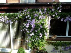 Clematis Blue Angel...bought 50 seeds.  Want to grow at mailbox, front porch or deck back door.  Hardy Perennial  :)